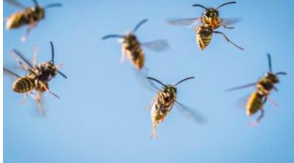 wasps flying